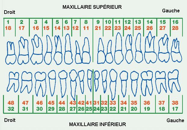 numérotation dents