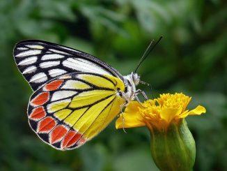 Durée vie papillon