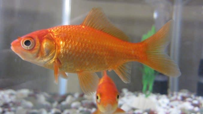 duree vie poisson rouge