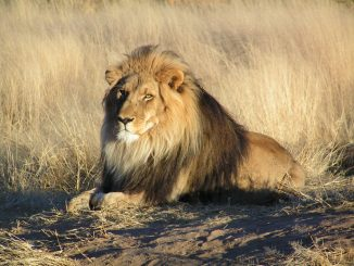 poids lion