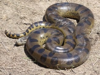 plus grand serpent du monde