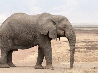 durée de vie éléphant
