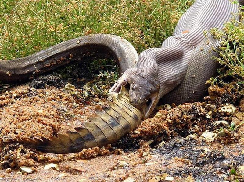 serpent mange crocodile
