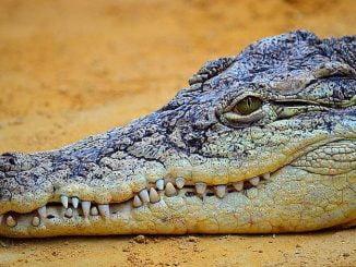 crocodile durée de vie