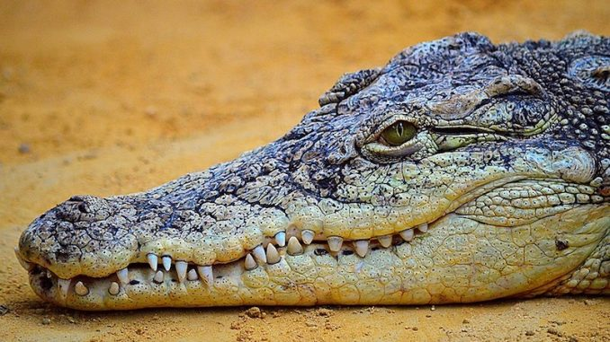 nombre dents crocodile