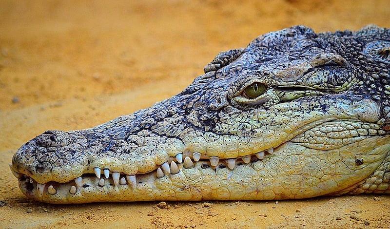 crocodile dur e de vie nombre de dents alimentation. Black Bedroom Furniture Sets. Home Design Ideas