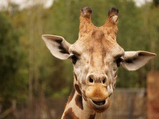 girafe poids