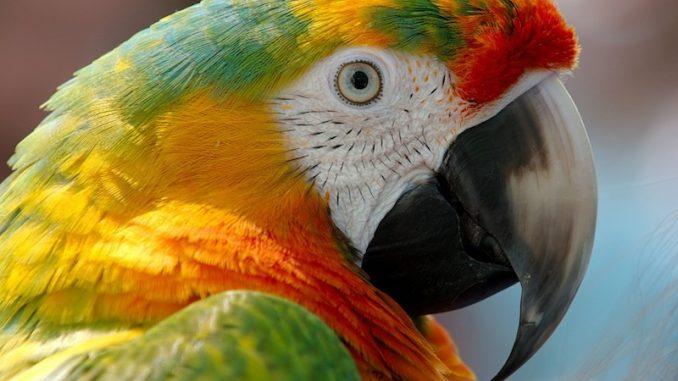 perroquet durée de vie