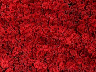 nombre roses st valentin