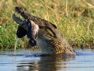 crocodile mange