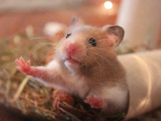 Durée de vie hamster