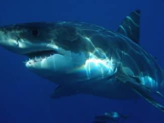 requin durée de vie